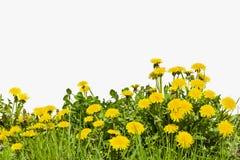 在白色背景的黄色蒲公英花 免版税图库摄影