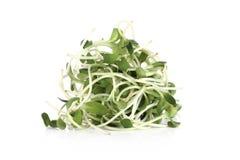 在白色背景的绿色年轻向日葵新芽 免版税图库摄影