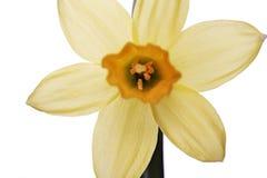 在白色背景的黄色黄水仙 库存图片