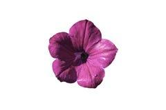 在白色背景的紫色Pitunia孤立 图库摄影