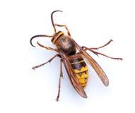 在白色背景的黄蜂 免版税库存照片