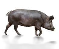 野生猪 免版税库存照片