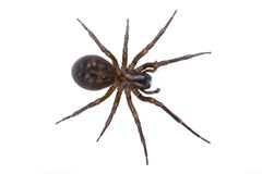 在白色背景的黑褐色蜘蛛 免版税图库摄影