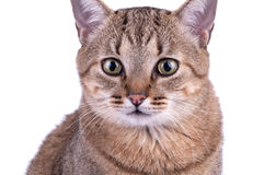 在白色背景的巴西短发猫 免版税库存照片