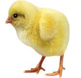在白色背景的活鸡 免版税库存图片