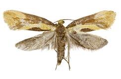 在白色背景的Concealer飞蛾Harpella 库存图片