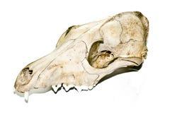 在白色背景的Fox头骨 库存照片