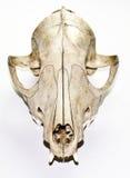 在白色背景的Fox头骨 免版税库存图片