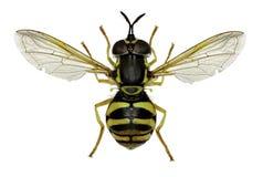 在白色背景的Hoverfly Chrysotoxum 库存照片
