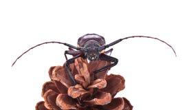 在白色背景的Insescts长有角的甲虫 免版税库存图片