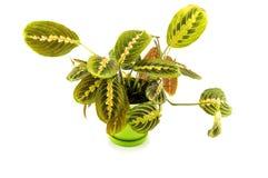 在白色背景的Maranta室内植物 对您 免版税库存照片