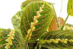 在白色背景的Maranta室内植物 对您 库存照片