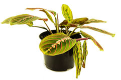 在白色背景的Maranta室内植物 对您 库存图片