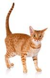 在白色背景的Ocicat红色猫,演播室照片 免版税库存图片