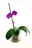 在白色背景的Orhidaya紫色 库存图片
