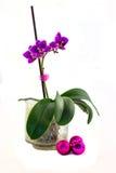 在白色背景的Orhidaya紫色 免版税库存图片