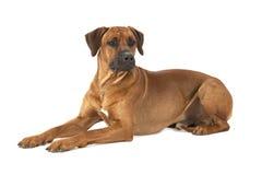 在白色背景的Rhodesian Ridgeback狗 免版税图库摄影