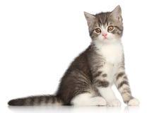 在白色背景的Scotish平直的小猫 库存图片
