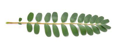 在白色背景的Sesbania大花的叶子 免版税库存照片
