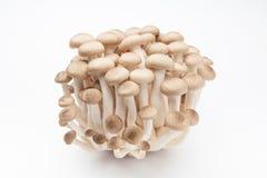 在白色背景的Shimeji蘑菇 库存照片