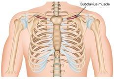 在白色背景的Subclavius肩膀肌肉医疗传染媒介例证 向量例证