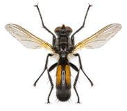 在白色背景的Tachinid飞行Cylindromyia 库存照片