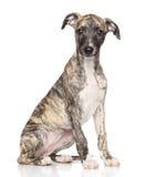 在白色背景的Whippet小狗 免版税库存照片