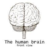 在白色背景绘的人脑 免版税库存图片