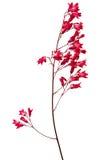 在白色背景花矾根属植物隔绝的被拍摄的宏指令 免版税库存照片