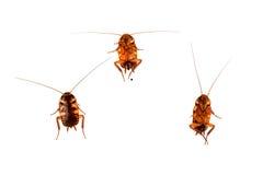 在白色背景蟑螂隔绝的套 库存照片