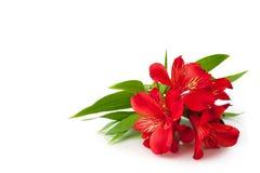 在白色背景被隔绝的特写镜头,装饰边界的明亮的桃红色百合花束的红色德国锥脚形酒杯花 库存照片