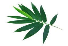 在白色背景裁减路线隔绝的绿色竹子叶子 免版税库存图片