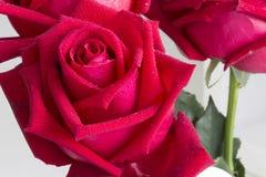 在白色背景设置的红色玫瑰 库存图片