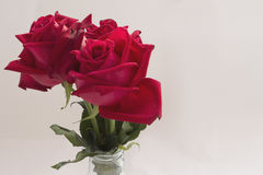 在白色背景设置的红色玫瑰 图库摄影