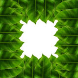 在白色背景附近的绿色叶子 免版税图库摄影