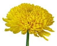 在白色背景隔绝的一朵黄色菊花花 特写镜头 在一个绿色词根的花蕾 免版税库存照片