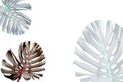 在白色背景隔绝的一热带monstera的五颜六色的叶子 免版税图库摄影