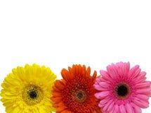在白色背景隔绝的三朵格伯雏菊花,拷贝温泉 免版税库存照片