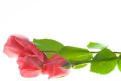 在白色背景隔绝的三朵桃红色玫瑰花 免版税库存照片