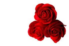 在白色背景隔绝的三朵玫瑰色花 库存图片