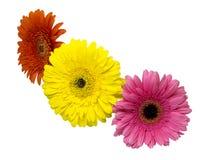 在白色背景隔绝的三朵gerber花 图库摄影