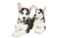 在白色背景隔绝的两只逗人喜爱的矮小的多壳的小狗 图库摄影