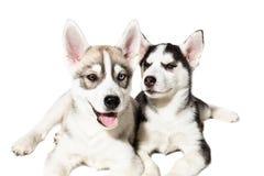 在白色背景隔绝的两只逗人喜爱的矮小的多壳的小狗 库存照片