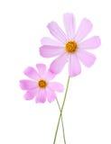 在白色背景隔绝的两朵浅粉红色的波斯菊花 背景波斯菊庭院温泉 免版税图库摄影