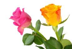 在白色背景隔绝的两朵玫瑰蔷薇科,包括裁减路线 图库摄影