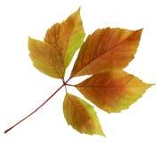 在白色背景隔绝的五颜六色的秋天秋天叶子 库存图片