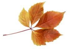 在白色背景隔绝的五颜六色的秋天秋天叶子 库存照片