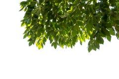 在白色背景隔绝的叶子 免版税库存图片