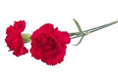 在白色背景隔绝的哀悼的两支红色康乃馨 库存图片