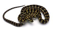 在白色背景隔绝的地毯树Python 免版税图库摄影